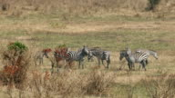 Zebra Grazing at Savannah video