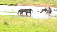 Zebra Herd Drinking in mere / lake video