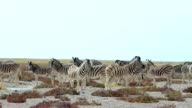 Zebra in african bush video