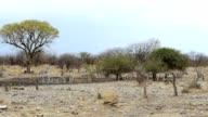 Zebra in african bush video