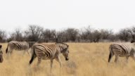 Zebra in african etosha bush, Namibia. Africa wildlife video