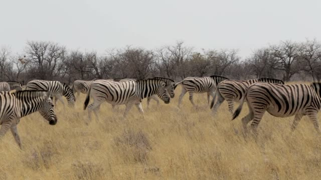 Zebra in african etosha bush, Namibia. Africa wildlife video