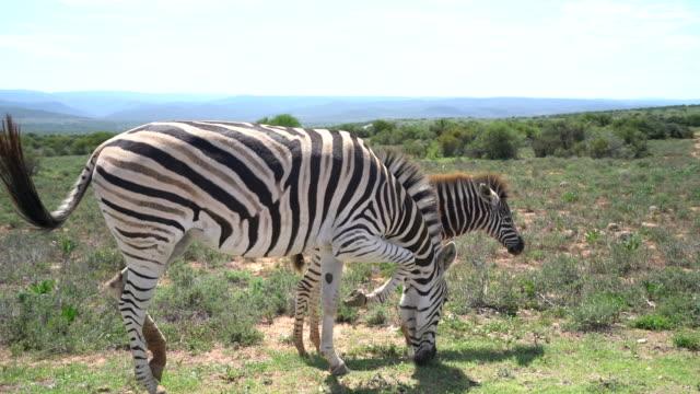 Zebra in South Africa video