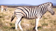 LS Zebra In The African Savannah video