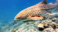 Zebra Leopard Shark (Stegostoma fasciatum) close up.  This shark has a Remora (Echeneidae) attached.  Having recently been re-classified as an Endangered Species on the Red list by the IUCN, these graceful creatures are becoming a rare sight in the wild. video