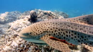 Zebra Leopard Shark (Stegostoma fasciatum) swimming.  This shark has a Remora (Echeneidae) attached.  Having recently been re-classified as an Endangered Species on the Red list by the IUCN, these graceful creatures are becoming a rare sight in the wild. video