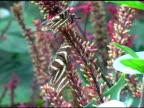 Zebra Longwing Butterfly 2 NTSC (3 clips!!!) video