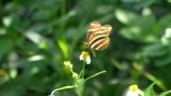 Zebra Longwing Butterfly Lands on White Flower video