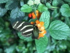 PAL: Zebra longwing butterfly (Heliconius Charitonia) video