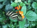 NTSC: Zebra longwing butterfly (Heliconius Charitonia) video