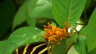 Zebra Longwing Butterfly with a Broken Wing Lands on Flower to Feed video