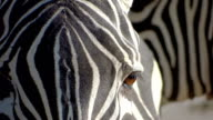 zebra portrait close-up video