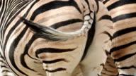 Zebra, rear view video
