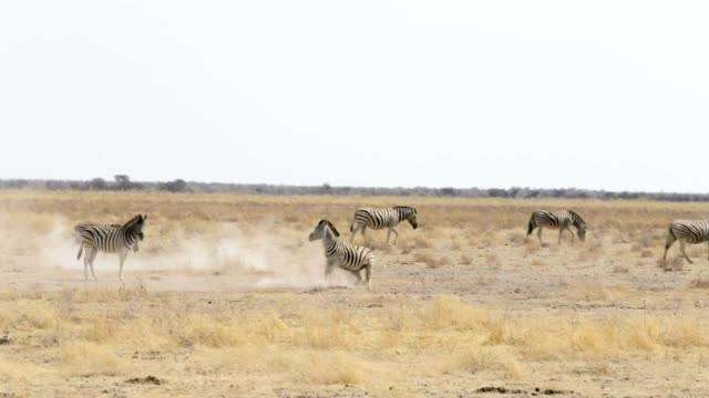 Zebra rolling on dusty white sand and taking bath in dust, Namibia. Africa wildlife video