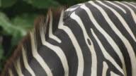 Zebra Skin. video