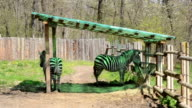 Zebra Tail Wagging video