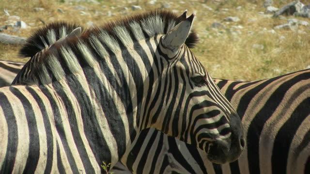 Zebra_close video
