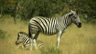 Zebra_mother and foal video