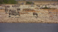 Zebras and antelopes - water whole video