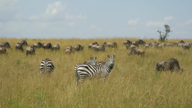 Zebras and wildebeest in African safari Maasai Mara video