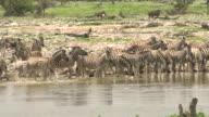 Zebras at waterhole video