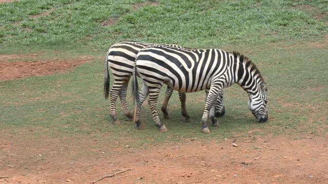 Zebras eating grass video