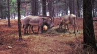 1964: Zebras eating hay in southern USA wooded forest habitat. video