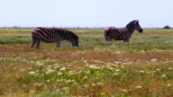 Zebras Grazing on a Hot Day video