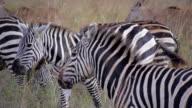 CLOSE UP: Zebras in Africa video