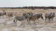 Zebras in african bush video