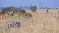 Zebras in front of Nairobi video