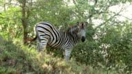 Zebras in Kruger Wildlife Reserve video