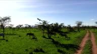 Zebras in Serengeti N.P. - Tanzania video