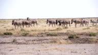 LS Zebras In The African Savannah video