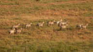 AERIAL: Zebras in two lines traveling across savanna short grass field at sunset video
