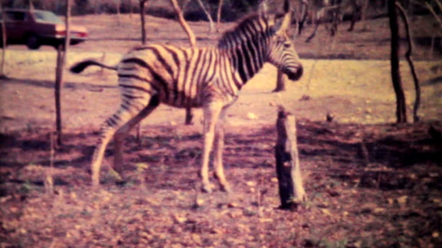 Zebras Roaming Through Game Park-1979 Vintage 8mm film video