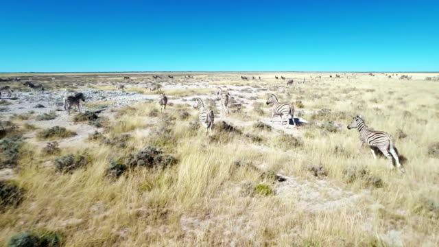 HELI Zebras Running In The African Savannah video