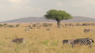 AERIAL: Zebras spread across savannah field pasturing and resting in tree shade video