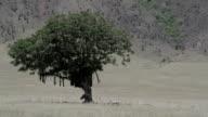 Zebras with big tree video