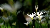 Zephyranthes video