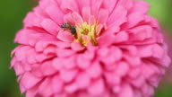 Zinnia flower in the garden video