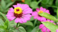 Zinnia Flower video