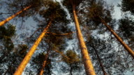 Zoom in high pine forest canopy. video