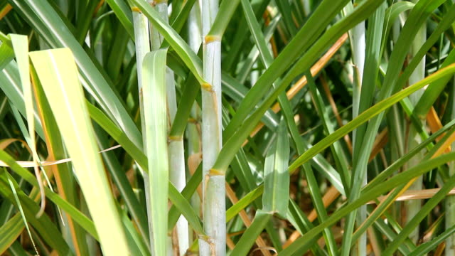 Zoom out of green sugarcane video