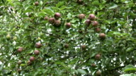 zoom out of ripe pear fruit on tree in sunny garden video