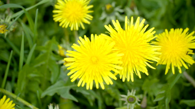 Zoom out view of the yellow dandelion field video