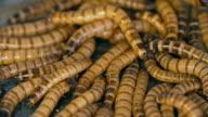 Zophobas Morio Worms video
