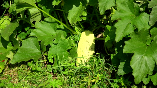 Zucchini, courgette in the garden. 4K. video