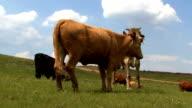 Zulu cows video