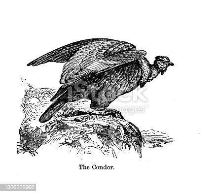 istock 19th c black and white engraving a condor on rock; The history of Birds 1890 1326222962